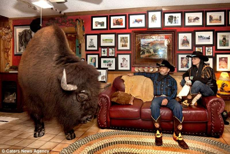 wild world! la coppia texana vive con un bufalo in casa