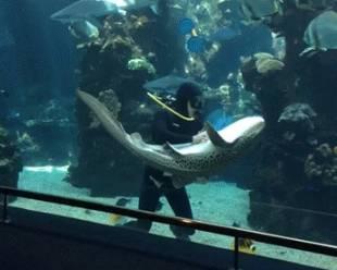 squalo leopardo che si fa fare le coccole 4