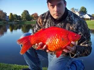 I pesci rossi 39 liberati 39 in laghi fiumi e stagni sono una for Pesci rossi piccoli