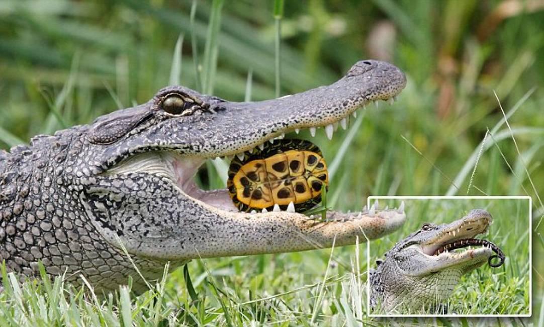 Tartarughe a colazione un alligatore spezza il carapace for Lago per tartarughe